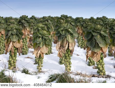 Brussels Sprouts In Winter Field With Snow Under Blue Sky