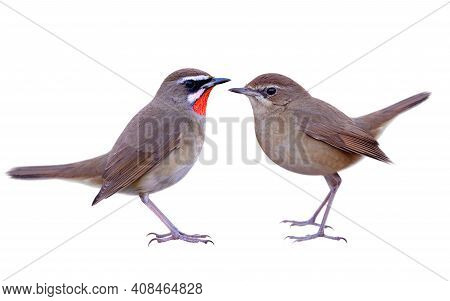 Siberian Rubythroat (luscinia Calliope) Beautiful Brown Bird With Red Feathers On Its Neck Of Male A