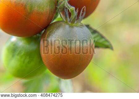 Gardening And Agriculture Concept. Fresh Ripe Organic Red Tomatoes Growing In Greenhouse. Greenhouse