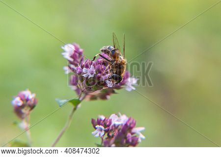 Honey Bee Covered With Yellow Pollen Drink Nectar, Pollinating Pink Flower. Inspirational Natural Fl