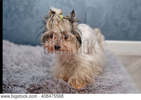 Beaver Yorkshire Terrier Hairy Unkempt On A Gray Rug