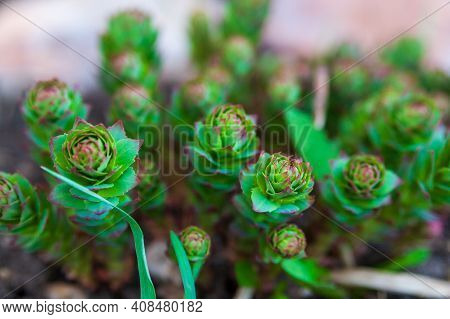 Young Shoots Of Rhodiola Rosea In Spring In The Garden, Close-up, Focus On Foreground.