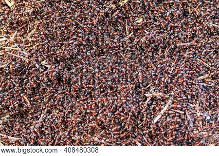 Many Forest Ants, Close-up. A Huge Cluster Of Forest Ants. Lots Of Ants. Ant Hill. Concept- Agglomer
