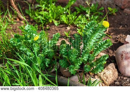 Young Shoots Of Rhodiola Rosea In Spring In The Garden.