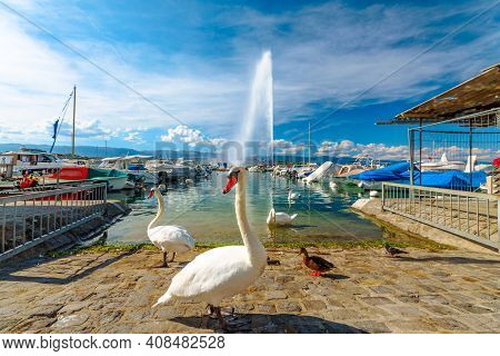 Scenic View Of White Swans On The Shore Of Geneva Lake In Geneva Harbor And Of The 140m High Fountai