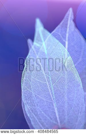 Skeleton Blue Leaves On Blurred Purple Background.group Of Skeleton Leaves.macro Structure Delicate