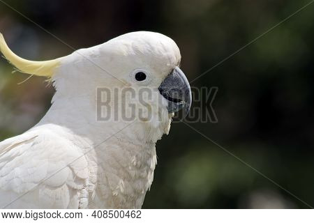 This Is A Close Up A  Sulphur Crested Cockatoo