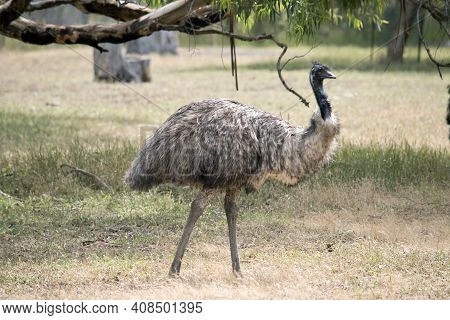 The Australian Emu Is A Tall Flightless Bird With Long Feathers On Its Body.  It Has Black Feathers