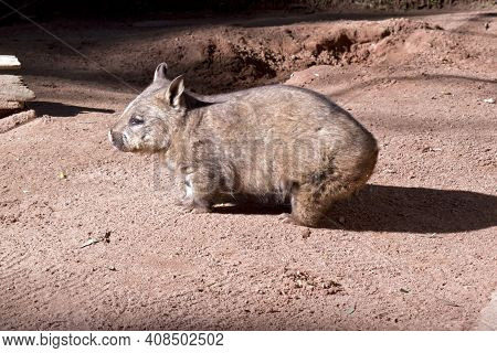 The Hairy Nosed Wombat Lives In Burrows Underground He Has Sharp Claws For Digging