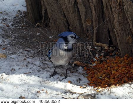 Blue Jay Bird Eating Seeds On The Ground