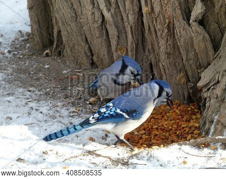Two Blue Jay Birds Eating Seeds On The Ground