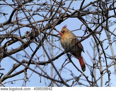 Female Cardinal Bird Sitting On The Tree Branch