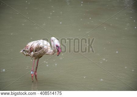 Singapore - Jan 02, 2021: Lesser Flamingo Standing At The Water Side In Jurong Bird Park. Jurong Bir