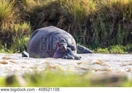 Low level view of an adult hippopotamus in the Mara River, Masai Mara, Kenya. Front view.