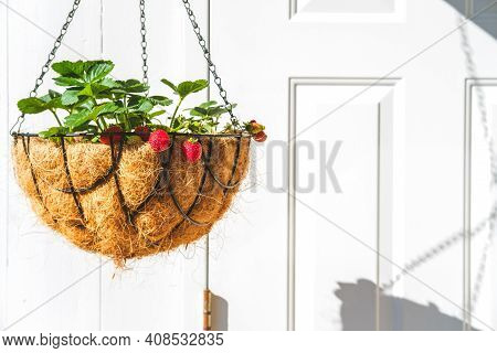 Strawberry In Hanging Basket With Coconat Liner At The Condo Balcony With White Door. Gardening, Hob