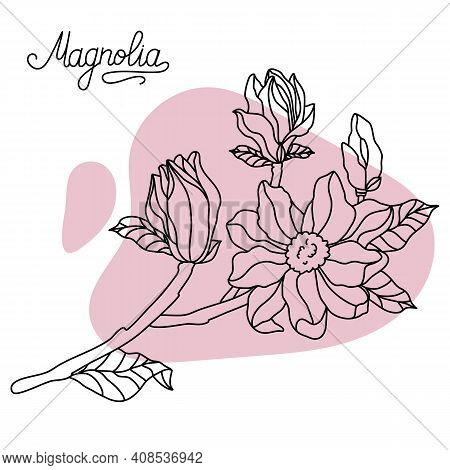 Vector. Floral Botany Collection Sketch. Magnolia Flower Drawings. Hand Drawn Botanical Illustration