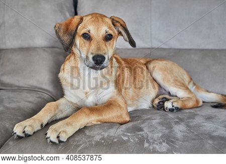 Cute Red-haired Dog With Hanging Ears Is Sitting On The Couch