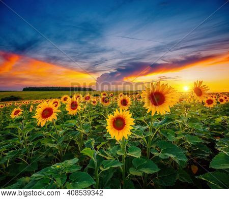 Magical scene of exotic yellow sunflowers in the evening. Location place Ukraine, Europe. Photo of ecology concept. Agrarian industry. Fantastic wallpaper. Image of cultivation land. Beauty of earth.