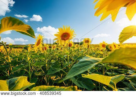 Attractive field with bright yellow sunflowers close up. Location place of Ukraine, Europe. Photo of ecology concept. Agrarian industry. Perfect wallpaper. Image of cultivation land. Beauty of earth.