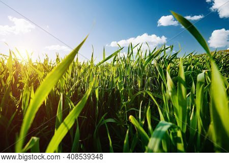 Close up of wheat seedlings growing in soil on a sunny day. Ecology concept. Fresh seasonal background. Photo wallpaper of cultivation land. Image of template green grass texture. Beauty of earth.