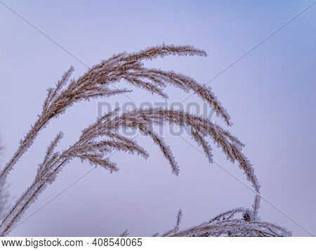 A Field Plant In The Fog Is Covered With White Frost In Winter. Meadow Plant. White Fog. Winter Seas