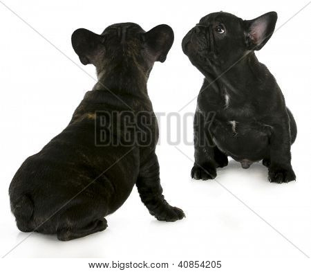 two french bulldog puppies looking up isolated on white background
