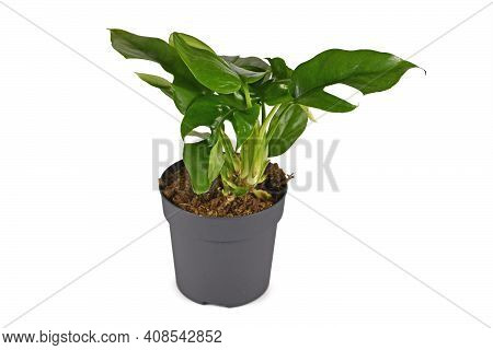 Tropical Houseplant With Botanic Name Rhaphidophora Tetrasperma With Leaves With Holes In Pot Isolat