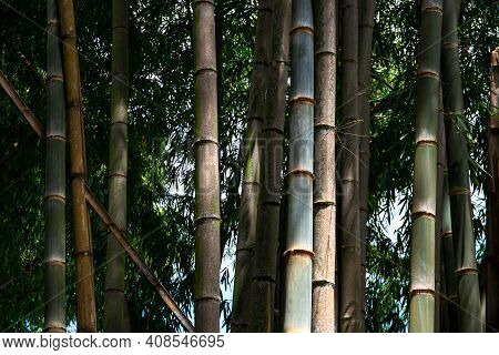Wild Bamboo Forest With Green Trunks And Leaves, Natural Tropical Landscape. Natural Zen Background.