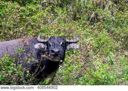 Black Carabao Bull Portrait, Asian Farm Animal Photo. Free Range Pasture For Farm Animal. Carabao Bu