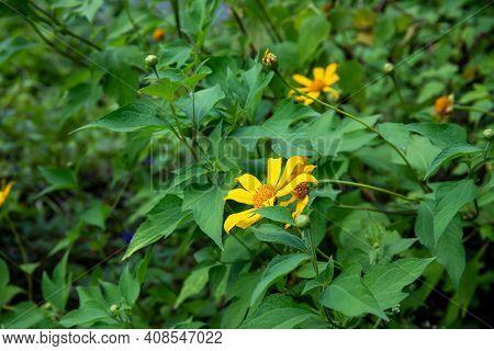 Yellow Flower In Green Summer Meadow. Yellow Daisy Flower In Green Grassland. Rural Field With Bloom