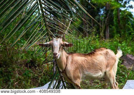 Cute Brown Goat On Palm Leaf Background. South Asia Village Rural Scene. Cute Goat In Tropical Envir
