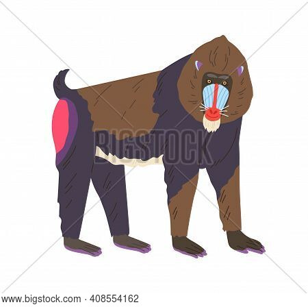Mandrill Or Baboon Specimen Standing On Four Legs. Cute Exotic Red-nosed Monkey With Bright Colored