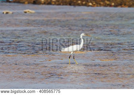 White Heron Walking On Sea Coast. Graceful Bird Looking For Fish. Wild Bird Is Hunting. Sunny Day In