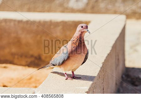 Laughing Dove Or Streptopelia Senegalensis On Concrete Block. Curious Bird Is Staring On Camera. Hur