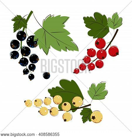 Bunches Of Ripe Juicy Blackcurrant, Redcurrant, White Currant With Green Leafs. Red Currant, Black C