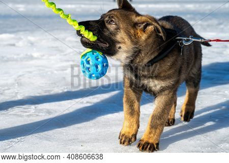 An Eleven Weeks Old German Shepherd Puppy Plays Tug-of-war On The Ice Of A Frozen Ocean Bay. Picture