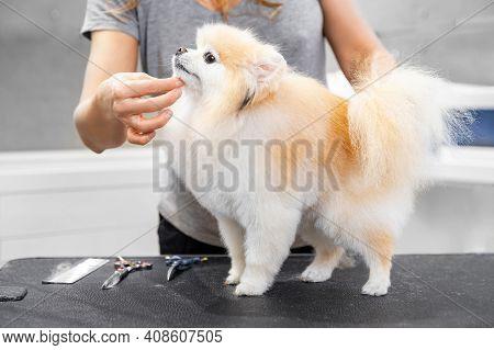 Concept Hairdresser For Animals, Groomer Has Trimmed Happy Dog Pomeranian Spitz