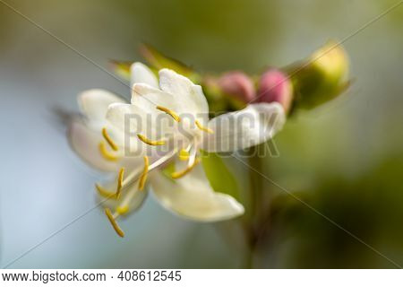 Spring White Flowers Of Lemongrass With Yellow Stamens.