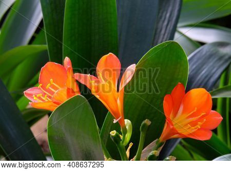 Beautiful Blooming Clivia (latin Clivia) - Genus Of Perennial Evergreen Herbaceous Plants