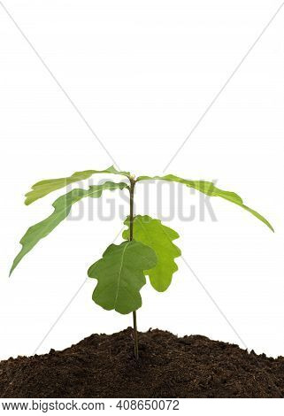 Young Tree Saplings Growing In Compost On A White Isolated Background  With A Concept Of New Beginni