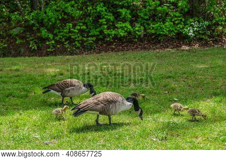 Canadian Geese Parents Eating Grass Together With Their Baby Goslings While Keeping An Eye Out Prote