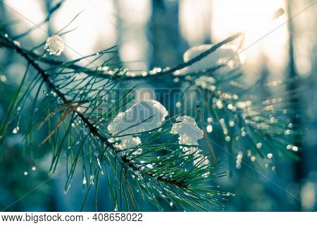 Pine Needles Covered With Snow Close-up. Snow-covered Pine Needles On A Sunset Background. Dawn In T