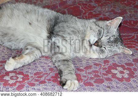 Rural Cat Basking On Carpet. Lazy Cat Dozing On Warm Floor. Scottish Straight Cat Relaxing On Floor.