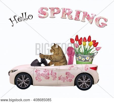 A Beige Cat Drives A Car Painted With Pink Flowers With A Pail Of Tulips. Hello Spring. White Backgr