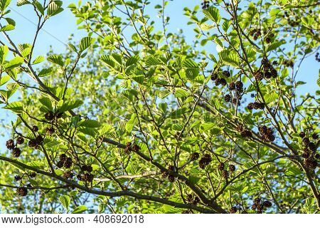 Alder Branch With Cones And Green Leaves, Close-up In Spring.
