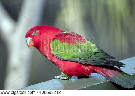 The Chattering Lory Is A Colorful Bird With Orange Eyes And Beak