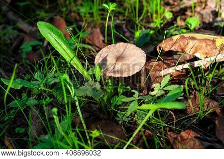 Edible Mushroom In The Forest . Uncultivated Plants Growing