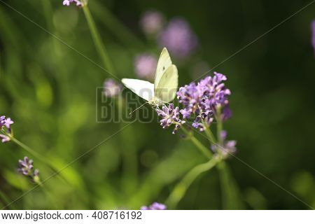 Buterfly Cabbage Butterfly On Flower, Macro. Pieris Brassicae Pollinating Lavender In The Garden.