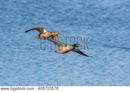 Pair Of Mallard Duck Flying Over The Huron River