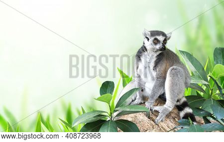 Horizontal banner with Ringtailed lemur on a branch in a rainforest. On blurred background with Lemur catta and tropical leaves. Copy space for text.